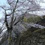 米子城と桜[提供:米子市教育委員会]