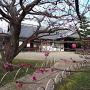 弘道館と梅の花
