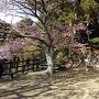 桜は五分咲き