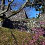 本丸石垣と梅