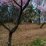 寒桜と城址