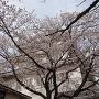 御三階櫓と満開の桜①