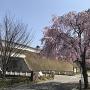 おほり橋の枝垂れ桜
