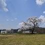 陣屋跡に咲く桜
