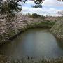 郡山城石垣の桜