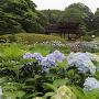 後楽園 紫陽花越しの花菖蒲畑