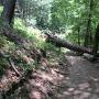 登城道の倒木