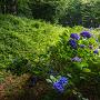曲輪Ⅵの土塁と紫陽花
