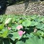 内堀に咲き乱れる大賀蓮