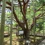 三の丸(芦城公園)の樹齢推定200年のアカマツ