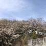 城址看板と桜