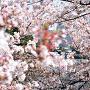 桜の中の桜田門
