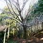 山桜と切岸
