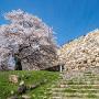 桜と二の丸走櫓石垣
