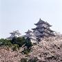 姫路城天守群と桜[提供:姫路市]
