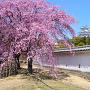 姫路城と西の丸の桜(改修前)[提供:姫路市]