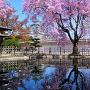 西の丸の桜[提供:姫路市]