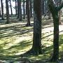 旧本丸跡飫肥杉