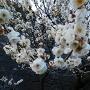 梅林坂の梅(白)