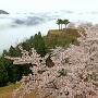 竹田城と桜と雲海[提供:吉田利栄]