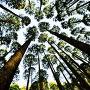 北側登城口の杉