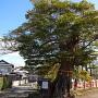 タブの木[提供:大村市観光コンベンション協会]