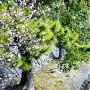 朱門横の梅とお濠