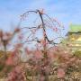 枝垂れ梅と天守