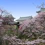 上田城跡公園と桜[提供:上田市商工観光部観光課]