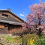 武家屋敷と蜂須賀桜