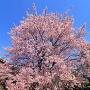 蜂須賀桜 2017 ※徳島中央公園より南へ1.5km