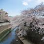 金剛寺付近の桜と石神井川