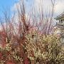 紅白梅と長浜城
