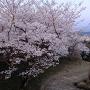 天守から鉄門の桜