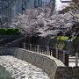 石垣にそって咲く桜(2014年)[提供:岸和田市]