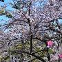 桜咲く二の丸広場[提供:岸和田市]