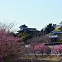 天守と掛川桜