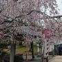大村神社の桜