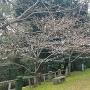 東の丸の桜
