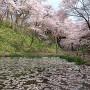 水面に映る桜(鏡面桜)[提供:伊那市観光協会]