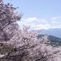 高遠城址公園の桜とアルプス[提供:伊那市観光協会]