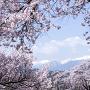 高遠城址公園から桜越しにアルプスを望む[提供:伊那市観光協会]