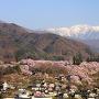 高遠城址公園の桜遠景[提供:伊那市観光協会]