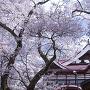 桜と高遠閣[提供:伊那市観光協会]