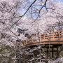 桜につつまれる昼の桜雲橋[提供:伊那市観光協会]