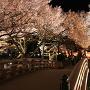 夜桜と桜雲橋[提供:伊那市観光協会]