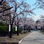 城址公園 桜並木