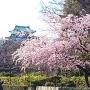 寒桜から天守閣を臨む