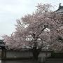 小天守前の桜