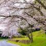 南山裾帯郭の桜